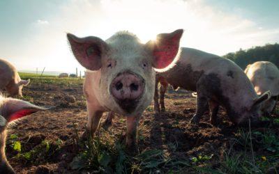 Varkens kunnen voedselverspilling helpen oplossen
